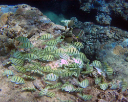 Convict Tangs at Sharks Cove Hawaii