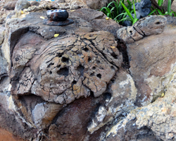 Hidden Rock Art: Hawaiian Sea Turtle at Disney Aulani Resort
