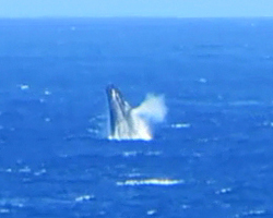Whale Watching Hawaii: Humpback Whale Breaching & Spouting Near Kaena Point, Oahu