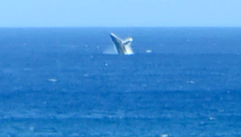 Whale Watching Hawaii: Humpback Whale Breaching Near Kaena Point, Oahu