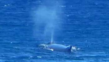 Whale Watching Hawaii: Humpback Whale Blow Spout Near Kaena Point, Oahu