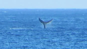 Whale Watching Hawaii: Humpback Whale Fluke Near Kaena Point, Oahu