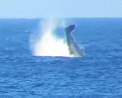 Whale Watching Hawaii: Humpback Whale Splashing Its Fluke Repeatedly Near Kaena Point, Oahu
