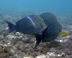 Surgeon fish (Palani) in murky water at Hanauma Bay Hawaii