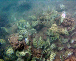 School of convict tangs through murky water outside the reef at Hanauma Bay Hawaii