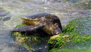 Green Sea Turtle at Laniakea Beach, North Shore Oahu