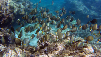 Large School of Reef Fish at Three Tables