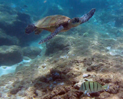 Green Sea Turtle at Three Tables on Oahu North Shore