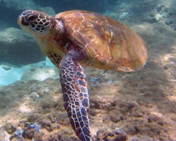 Green Sea Turtle at Three Tables