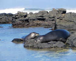 Two Hawaiian Monk Seals Resting at Kaena Point
