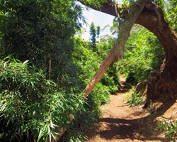 Bamboo Grove Along Aiea Loop Trail