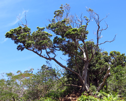Ohia Tree at Aiea Loop Trail