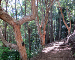 Paperbark Trees Along Aiea Loop Trail