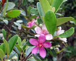 Flora along Puu Maelieli Trail