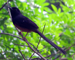 White Rumped Shama Along Friendship Garden Trail