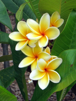 Plumeria at Koko Crater Botanical Garden