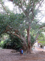 Sycamore Fig Tree at Koko Crater Botanical Garden