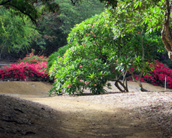 Plumeria and Bougainvillea Groves at Koko Crater Botanical Garden