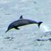 Scenic Hawaii Dolphin Watching