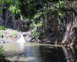 Banyan Trees at Kapena Falls
