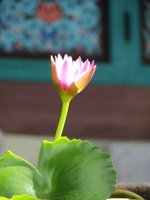 Sunlight upon a Water Lily at Mu-Ryang-Sa Buddhist Temple Hawaii