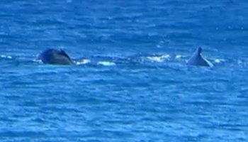 Whale Watching Hawaii: Mother and Baby Humpback Whales Near Kaena Point, Oahu