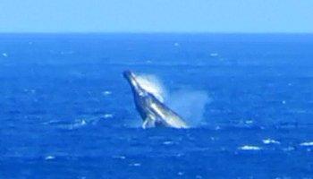 Whale Watching Hawaii: Humpback Whale Breaching Near Kaena Point, Oahu