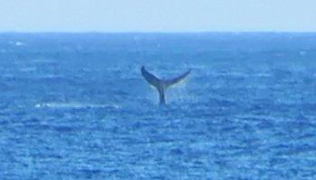 Whale Watching Hawaii: Humpback Whale Fluke Near Kaena Point, Oahu