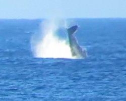 Whale Watching Hawaii: Humpback Whale Splashing Its Fluke Repeatedly Near Kaena Point, Oahu
