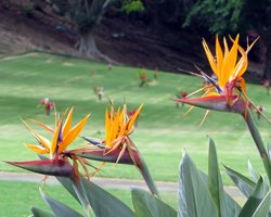 Bird of Paradise at Punchbowl Crater