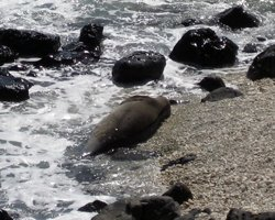 Hawaiian Monk Seal Sleeping at Kaena Point