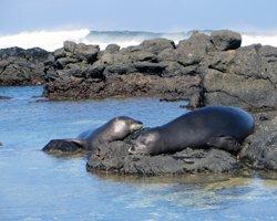 Two Hawaiian Monk Seals Resting at Kaena Point