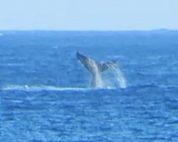 Humpback Whale Sighting at Kaena Point (North Shore Route)