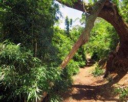 Bamboo Grove Along Aiea Loop Trail