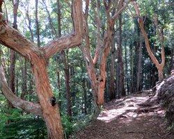 Paperbark Trees Along Aiea Loop Trail