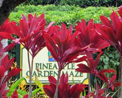 World's Largest Maze at Dole Pineapple Planation